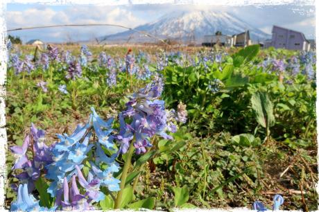 我が家の裏に広がるエゾエンゴサクとつくしの畑。倶知安、北海道。