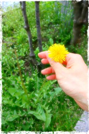 親勉中級講座 in 北海道、今日は課外授業。タンポポは合弁花。