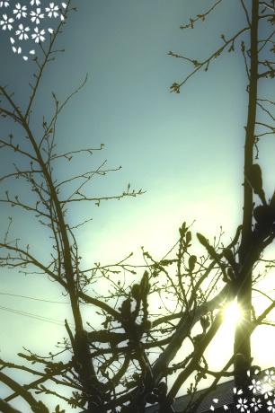我が家の庭の桜の木。北海道、倶知安町。まだまだ小さく固いつぼみのままです。