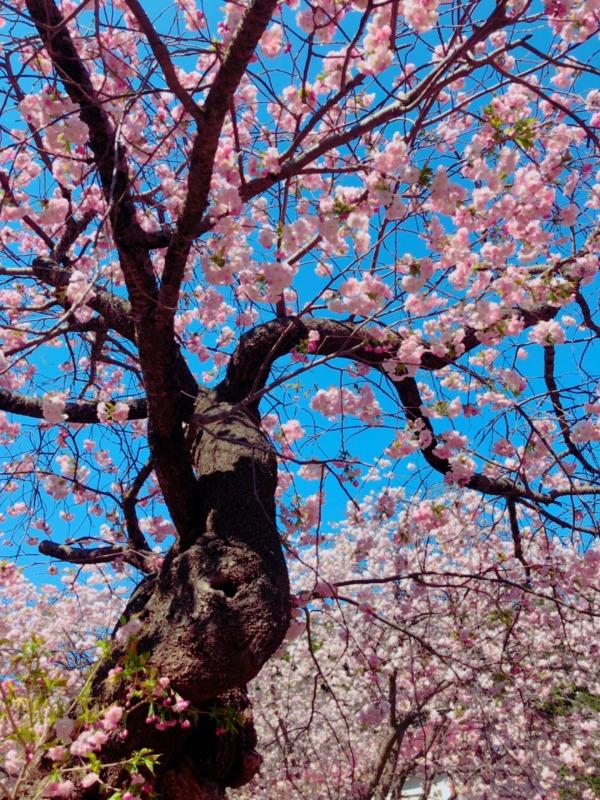 樹齢300年、道内最古の桜の木、血脈桜、北海道松前城跡