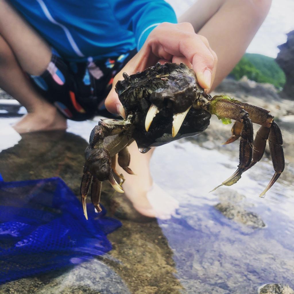 高級食材モクズガニ 上海ガニの近縁種。淡水から海水で生きる強い生き物。北海道 地球まるごと遊び場に