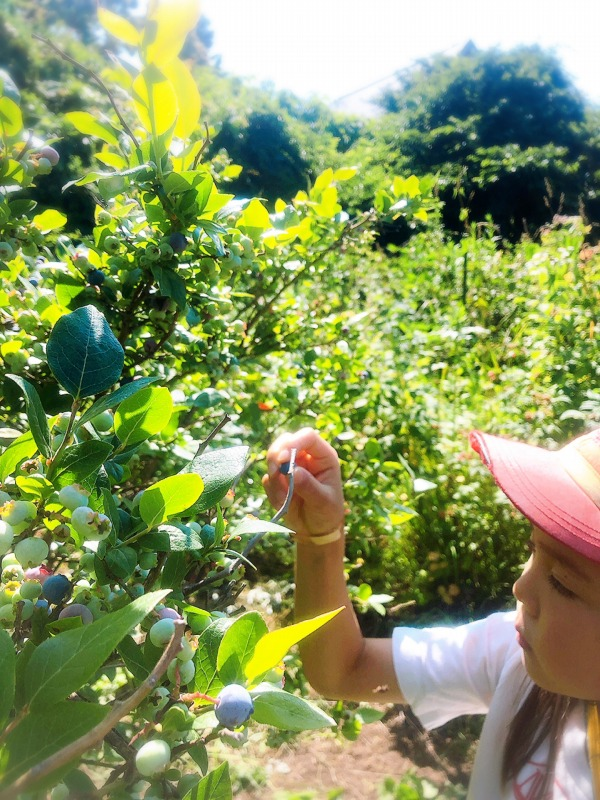 子どもと一緒にフルーツ狩り、ブルーベリーピッキング。北海道余市