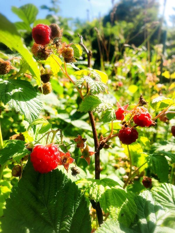 子どもと一緒にフルーツ狩り、果物狩り、ラズベリーピッキング。北海道余市