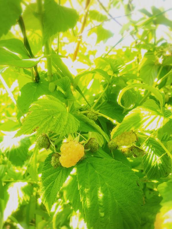 子どもと一緒にフルーツ狩り、果物狩り、黄色いラズベリーピッキング。北海道余市